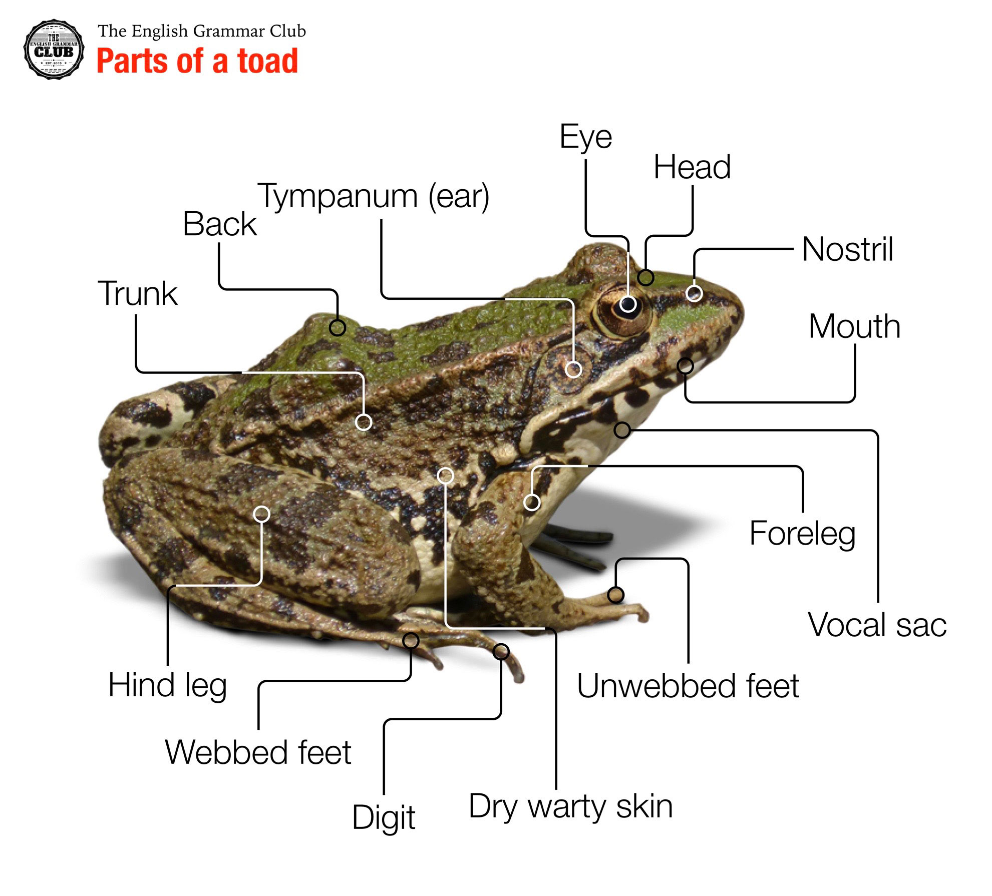 Frogs have no tail, except as larvae, and most have long hind legs, elongated ankle bones, webbed toes, no claws, large eyes, and a smooth or warty skin.